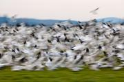Blurry Birds In A Flurry L467 Print by Yoshiki Nakamura