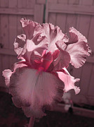 Iris Digital Art Prints - Blush Print by Teri Schuster