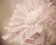 Gerbera Art - Blushing by Julie Palencia