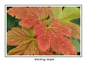 Blushing Posters - Blushing Maple Poster by Barbara Griffin
