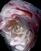 Pink Flower Prints Prints - Blushing White Rose Print by Gilbert Artiaga