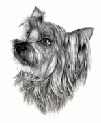 Yorkie Drawings - Bo by Lisa Bell
