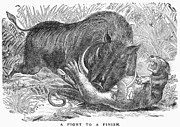 Boar Photos - BOAR & PANTHER, c1901 by Granger