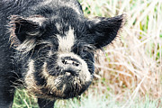 Boar Photos - Boar by MotHaiBaPhoto Prints