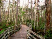 Collier Originals - Boardwalk through Corkscrew Swamp by Barbara Bowen