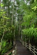 Country Scenes Photo Originals - Boardwalk through the Bald Cypress Strand by Barbara Bowen