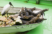 Alligators Photos - Boat full of alligators  by Garry Gay