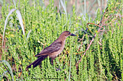 Larry Van Valkenburgh - Boat-Tailed Grackle