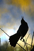 Mark Newman and Photo Researchers - Boat-tailed Grackle