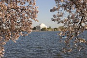 Tidal Basin Photos - Boaters In Tidal Basin With  Cherry by Charles Kogod