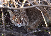 Bobcat Photo Framed Prints - Bobcat Framed Print by Bruce J Robinson