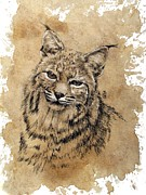 Animal Drawings Posters - Bobcat Poster by Debra Jones