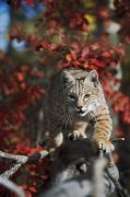 Nature Walks Posters - Bobcat Felis Rufus Walks Along Branch Poster by David Ponton