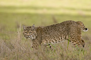 Lynx Rufus Prints - Bobcat Female Walking Santa Cruz Print by Sebastian Kennerknecht