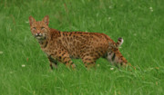 Bobcat Photos - Bobcat by Grant Groberg