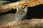 B A Bowen Photography Framed Prints - Bobcat Hiding in a Log Framed Print by Barbara Bowen