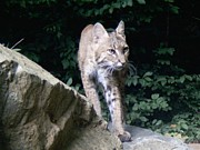 Steve Gass - Bobcat Hunting