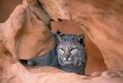 Lynxes Photos - Bobcat In Sandstone Formation by Natural Selection David Ponton