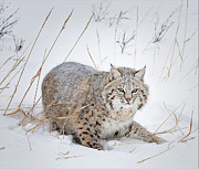 Bobcat Prints - Bobcat in the Snowy Grass Print by Howard Knauer