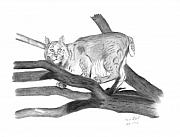 Bobcat Drawings Posters - Bobcat in tree Poster by Daniel Shuford