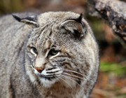 Bobcat Photo Posters - Bobcat Poster by Jim DeLillo