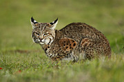 Lynx Rufus Photos - Bobcat Juvenile Santa Cruz California by Sebastian Kennerknecht