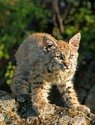 Bobcat Kitten Framed Prints - Bobcat Kitten Framed Print by Denny Bingaman