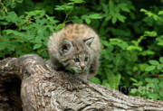 Bobcat Kitten Framed Prints - Bobcat Kitten Exploration Framed Print by Sandra Bronstein