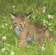 Bobcats Metal Prints - Bobcat Kitten Metal Print by John Pitcher