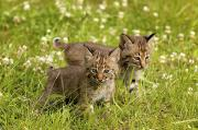 Bobcats Framed Prints - Bobcat Kittens Framed Print by John Pitcher
