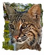 Bobcat Photo Framed Prints - Bobcat Framed Print by Larry Linton