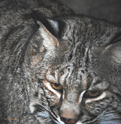 Bobcat Photos - Bobcat Love by DiDi Higginbotham