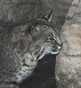 Bobcats Prints - Bobcat Love II Print by DiDi Higginbotham