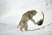 Interacting Prints - Bobcat Lynx Rufus Hunting Muskrat Print by Michael Quinton