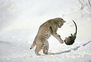 Bobcat Lynx Rufus Hunting Muskrat Print by Michael Quinton