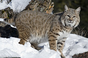 Photography Of Cats Prints - Bobcat Lynx Rufus In The Snow Print by Matthias Breiter