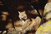 Animalsandearth Prints - Bobcat Lynx Rufus Portrait On Rock Print by Gerry Ellis