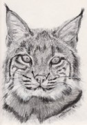 Bobcat Drawings Posters - Bobcat Poster by Marqueta Graham