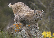Lynx Rufus Prints - Bobcat Mother And Kitten In Snowfall Print by Tim Fitzharris