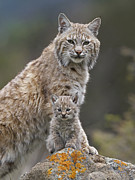 Baby Bobcat Framed Prints - Bobcat Mother And Kitten North America Framed Print by Tim Fitzharris