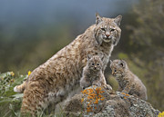 Lynx Rufus Prints - Bobcat Mother And Kittens North America Print by Tim Fitzharris