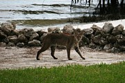 Bobcat Framed Prints - Bobcat on the beach - Florida Framed Print by William Miller