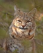 Bobcat Portrait Surrounded By Pine Print by Max Allen