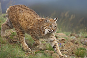 Lynx Rufus Prints - Bobcat Stalking North America Print by Tim Fitzharris