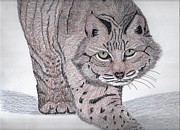 Wildlife Framed Prints Drawings Framed Prints - Bobcat Framed Print by Tony  Nelson