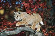 Felis Rufus Prints - Bobcat Walks On Branch Through Hawthorn Print by David Ponton