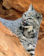 Bobcat Framed Prints - Bobcat with a Smile Framed Print by Larry Allan