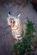 Usa Wildlife Prints - Bobcat Yawn Print by Randall Ingalls