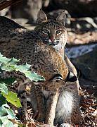 Bobcat Art - Bobcats by Julian Bralley
