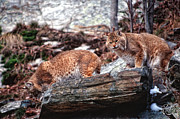 Bobcats Metal Prints - Bobcats on the Loose Metal Print by Brad Hoyt